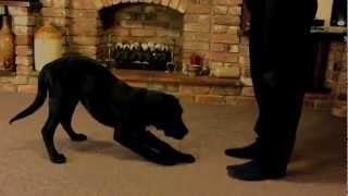 16 Week Intelligent Labrador Puppy Tricks. Dog Training