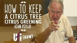 How To Keep A Citrus Tree: Florida Citrus Greening Asian Psyllid