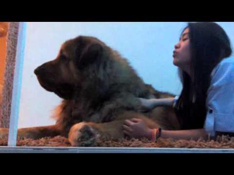 My Caucasian Ovcharka Zeus Howling