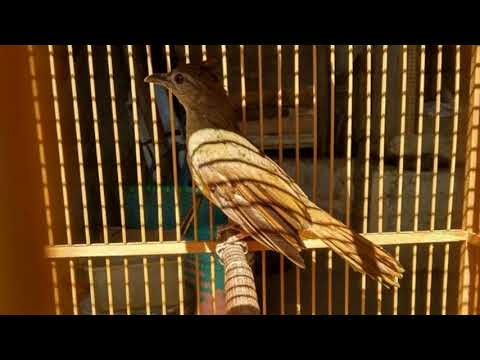 Burung Kapas Tembak Mana Yang Tidak Nyaut Dan Gacor Dengan Pancingan Ini