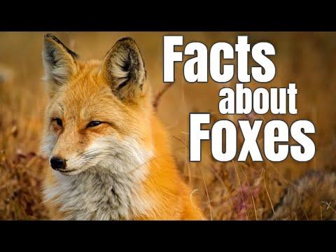 Fox Facts For Children