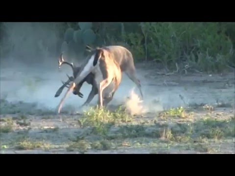 Whitetail Deer Fight It Out! What the Rut is Going On? These Bucks Are Nutts