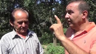 Alanya Demirtaş - Dolu - Poyraz - Don  Zararı Görmüş Portakal Ağaçları