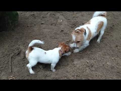 Digging is a serious business (- ft. Jack Russell Terrier Sam and Tops)
