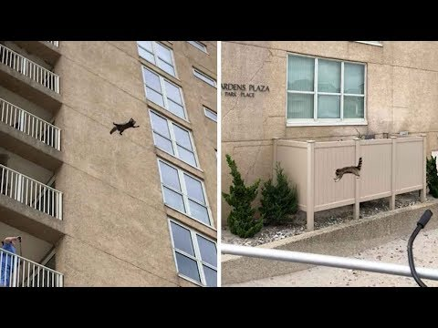 Daring Raccoon Lands Jump From 9th Floor Of Building Successfully