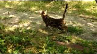Клеопатра бенгальская кошка