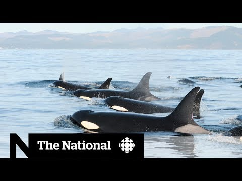 How Salmon Are Key To Locating Endangered Southern Resident Killer Whales