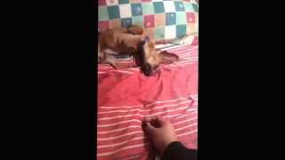 Doxie Pin Playing With Food (miniature Pincher X Mini Dachshund
