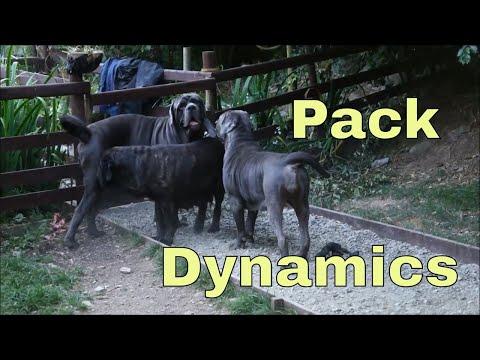 Neapolitan Mastiff Pack Having 'Hormonal Changes' Heat