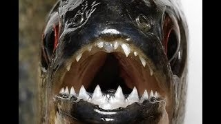 The Difference between Piranha and Pacu fish