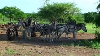 Afrique du sud les animaux sauvages du parc Paul  Kruger