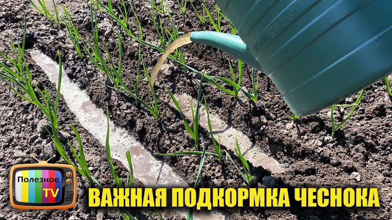 Об этой подкормке чеснока вам не расскажут те, кто умеет его выращивать!