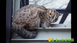 【東山動植物園公式】ツシマヤマネコ 発情期の鳴き声 ツシマヤマネコ 検索動画 28