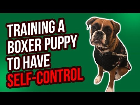 TRAINING A BOXER PUPPY TO HAVE SELF-CONTROL