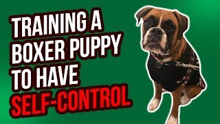 TRAINING A BOXER PUPPY TO HAVE SELFCONTROL