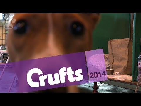 Basenji | Best of Breed | Crufts 2014