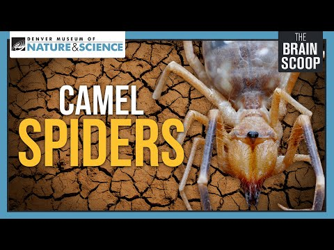 Camel Spiders: Neither Camels, nor Spiders