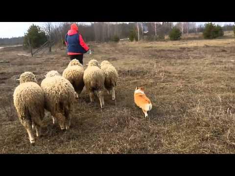 Julia & welsh corgi pembroke Riza sheep herding 02.2016
