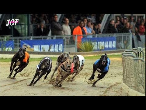 Greyhound Race - Dog Racing