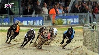 Greyhound Race  Dog Racing