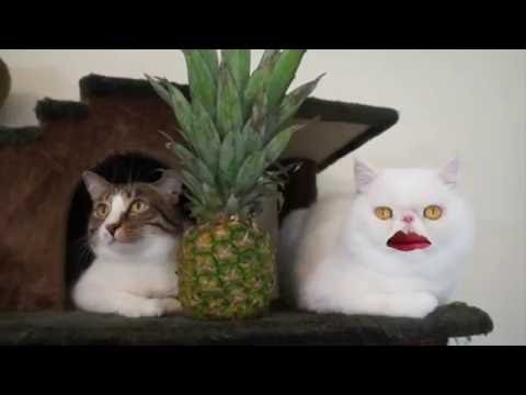 Singing Cats! PPAP with Cats!喵星人也来玩烧脑神曲PPAP!