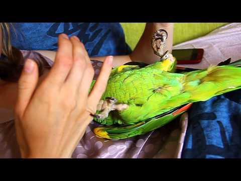 видео: Синелобый Амазон мерзопакостная птица.