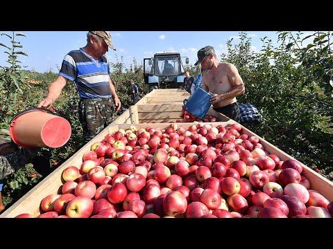 Богатый урожай яблок в Ростове