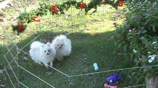 Pomeranian Puppies For Sale, White Pomeranians, Puppies For Sale