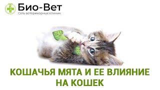 Кошачья мята и ее влияние на кошек