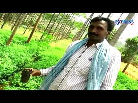 Malabaru Vepa Or Melia Dubia; A Boon in Wood Plantations | Paadi Pantalu | Express TV