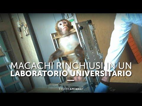 Macachi Rinchiusi In Un Laboratorio Universitario - Essere Animali