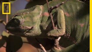 Boomslang vs. Chameleon