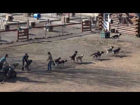 Iditarod Dog Sled Race Team Training