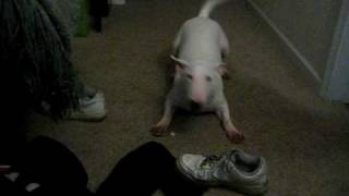 Bull Terrier Hucklebutting