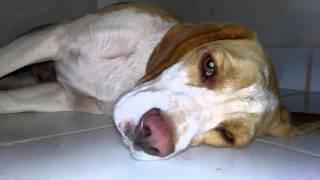Beagle Noia