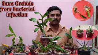 Orchid Disease | Bacterial Infection | Orchid Care | Brown Rot, Spotting, Treating and Preventing