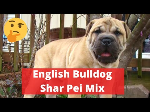 Your Complete Guide to the English Bulldog Shar Pei Mix (Bull Pei)