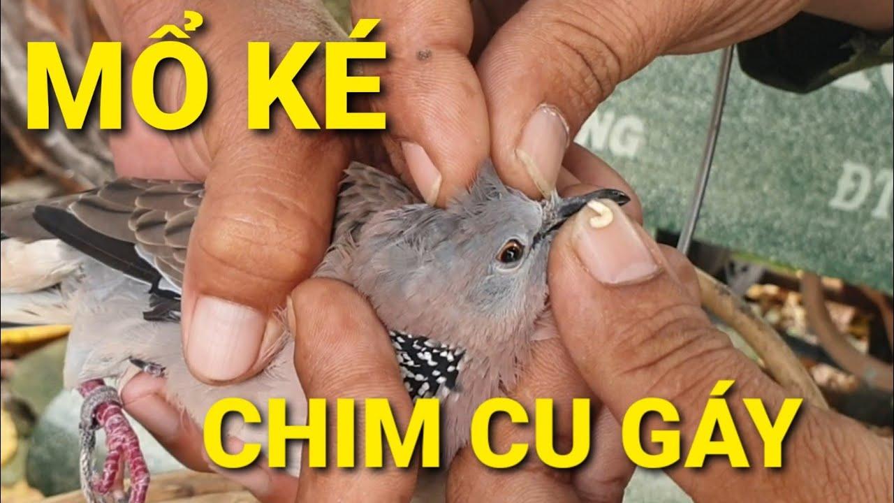 Trị Ké Cho Chim Cu Gáy !