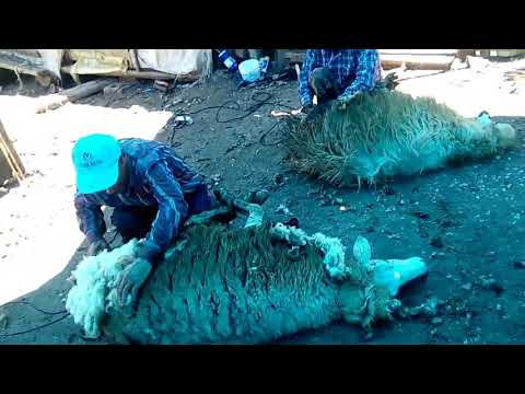 Koyun Kırkma Makinesi Nasıl Kullanılır ? Bu Adama Makine Dayanmaz/Boyabat Erkeç Köyü/Hüseyin Yılmaz