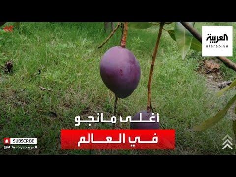 كاميرات مراقبة وفريق لحراسة أغلى شجرة مانجو في العالم  - نشر قبل 1 ساعة