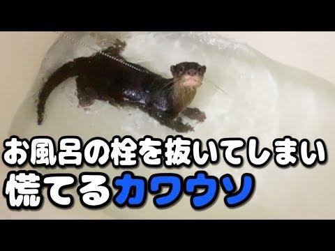 【コツメカワウソ】お風呂の栓を抜いてしまい慌てるカワウソ