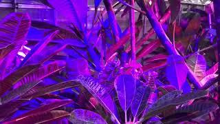 近年プルメリア愛好家の間でも少しずつ普及しはじめた植物育成用のLED照...