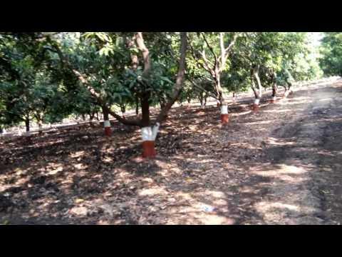 Gopal Mango Farm - Surat