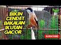 Pancingan Suara Cendet Bakalan Paling Ampuh Bikin Cendet Malas Bunyi Jadi Gacor Lagi  Mp3 - Mp4 Download