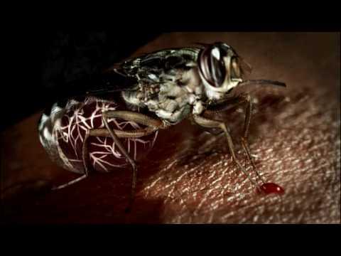 Death by Tsetse Fly