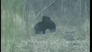 Медведь жрет еще живого Кабана