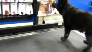 Bob the Schipperke puppy on a moving conveyor belt.