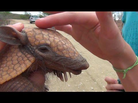 Filhote de Tatu-peba encontrado no Cariri paraibano. Brazilian Armadillo cub .