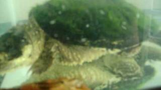 snapping turtle vs. crawdad