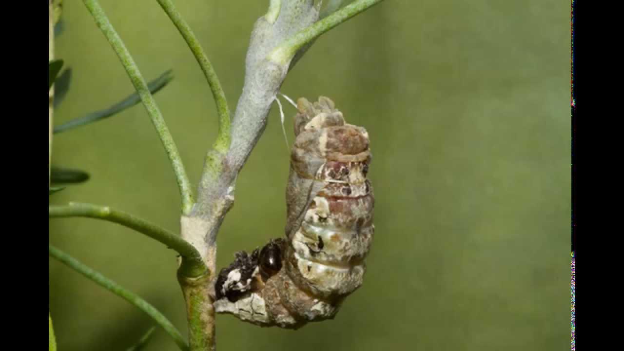 Giant Swallowtail Caterpillar To Chrysalis Youtube